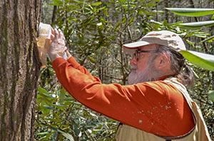 Saving Hemlocks organization conducts predator beetle release
