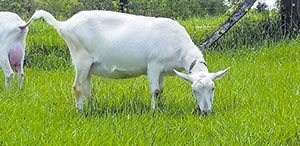 Fairgrounds to host dairy goat show