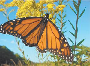 Monarch butterflies migrate North