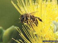 Honeybee Virus: Varroa Mite Spreads Lethal Disease