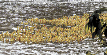 Rubber Ducky Regatta To Be Held September 16th