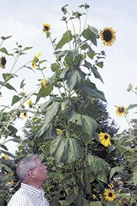 Tallest Sunflower In Shelby?