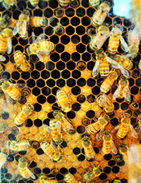 Environment North Carolina creating a buzz about bees across the state