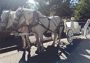 The horse team of Crissy and Slim will be pulling the carriage for the Uptown Shelby Valentine's Eve rides around  the square.